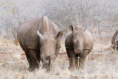 White Rhino And Young Art Print