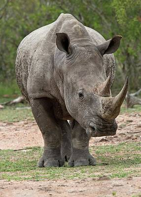 Rhinoceros Photograph - White Rhino by Bob Gibbons