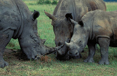 Photograph - White Rhino Family by Nigel Dennis