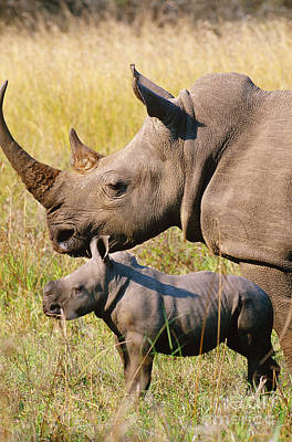 White Rhino Mother And Young Art Print by Art Wolfe