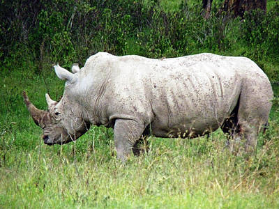 Photograph - White Rhino by Tony Murtagh