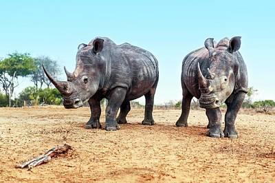One Horned Rhino Photograph - White Rhinoceros Bulls by Peter Chadwick