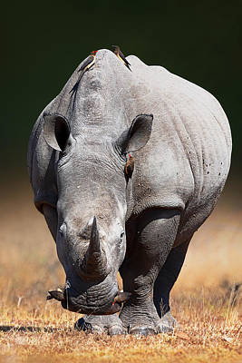 Red Photograph - White Rhinoceros  Front View by Johan Swanepoel