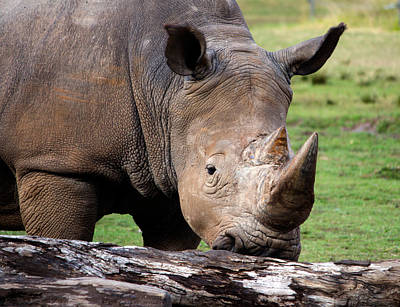 Photograph - White Rhinoceros by Nicholas Blackwell