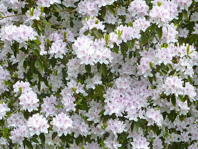 White Rhododendron Blossoms Art Print by Rob Sherwood