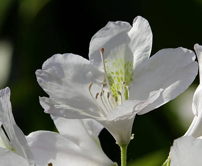 Photograph - White Rhododendron by David Freuthal