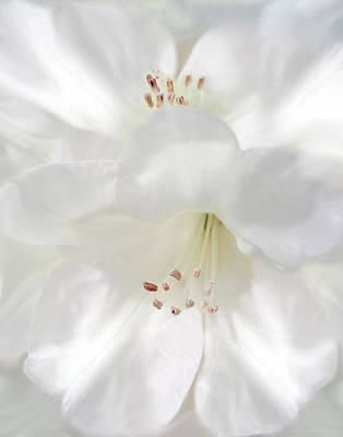 Photograph - White Rhododendron Flowers by Jennie Marie Schell