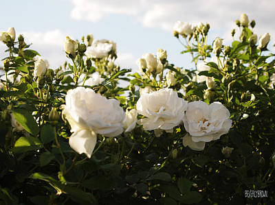 Waiting Photograph - White Rosa Rugosa by Beverly Brown