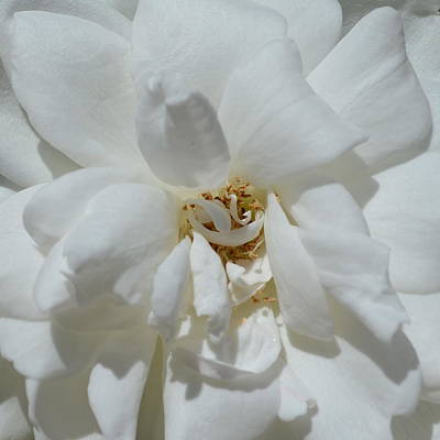 Photograph - White Rose 1.2 by Cheryl Miller