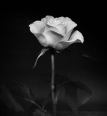 Photograph - White Rose #02 by Richard Wiggins
