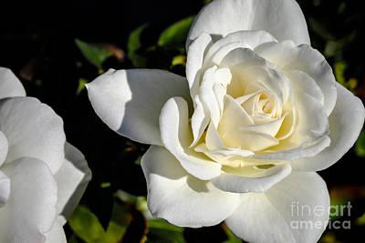 White Rose Photograph - White Rose 1 by Brian Luke