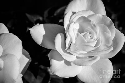 White Rose Photograph - White Rose 1 In Bw by Brian Luke