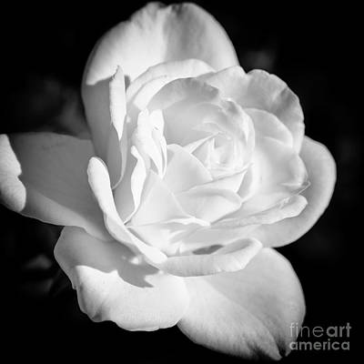 White Rose Photograph - White Rose 3 In Bw by Brian Luke