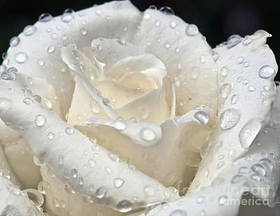 White Rose After The Rain Art Print