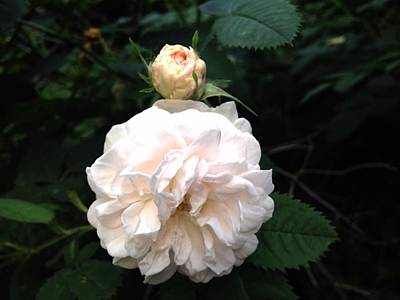 Photograph - White Rose And Bud by Felix Zapata