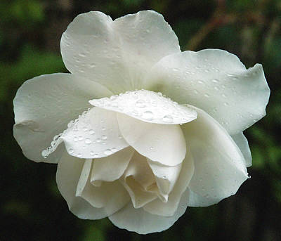 Photograph - White Rose Bowing In The Rain by Baato