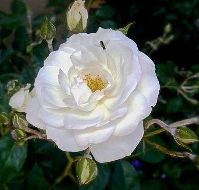 Photograph - Bernardus' White Rose Bush by Kristina Deane
