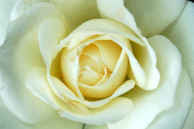 Photograph - White Rose by Cara Moulds