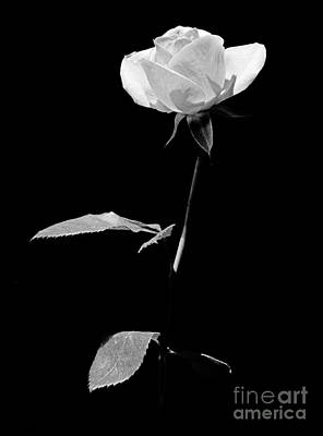 Photograph - White Rose by Casper Cammeraat