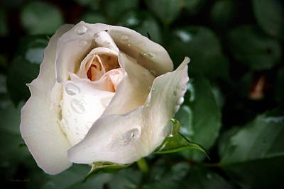 Photograph - White Rose by Christina Rollo