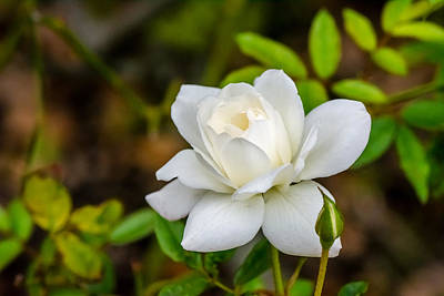 Photograph - White Rose by David Morefield