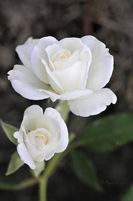 White Rose Duo Art Print
