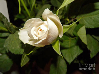 Photograph - White Rose by Eva-Maria Di Bella