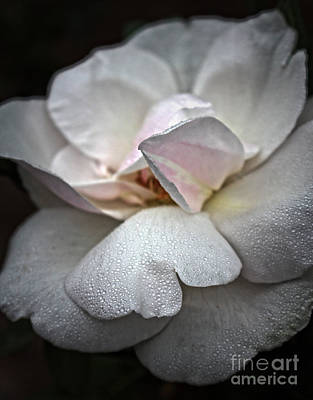 Photograph - White Rose Floral Morning Glow by Ella Kaye Dickey