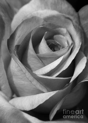 Photograph - White Rose by Jackie Farnsworth