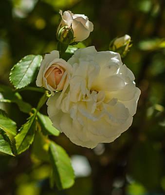 Zen - White Rose by Jane Luxton