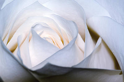 Photograph - White Rose by Jim Shackett