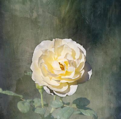 White Rose Print by Kim Hojnacki