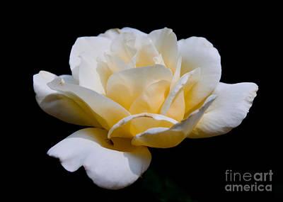 White Rose Art Print by Lisa L Silva