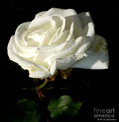 Painting - White Rose by M C Sturman