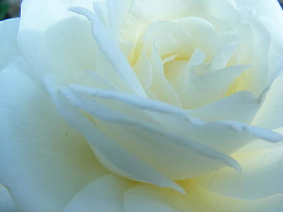 Photograph - White Rose by Michelle Hoffmann