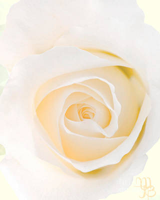 Photograph - White Rose by Mindy Bench