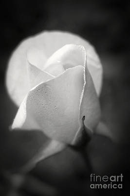 Photograph - White Rose Moonlight Glow - Black And White Flower Photography by Ella Kaye Dickey