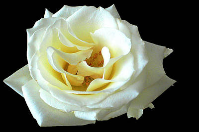 Photograph - White Rose Number One by David Hamilton
