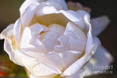White Rose Art Print by Nur Roy