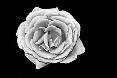 Photograph - White Rose On Black by Bob Wall