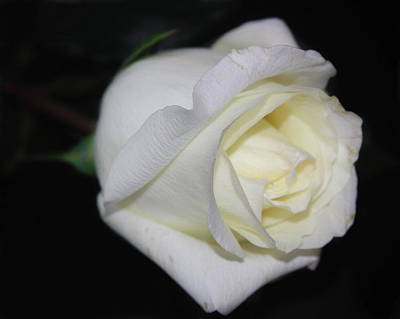 Dark Photograph - White Rose On Black by Cathy Lindsey