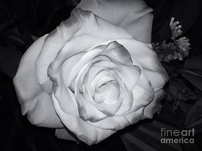 Photograph - White Rose Passion Impression by Saundra Myles