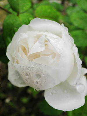 Photograph - White Rose by Simply  Photos