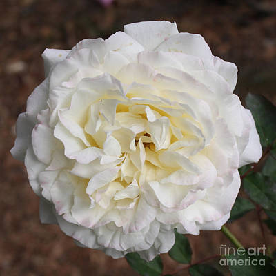 Roses Photograph - White Rose Square by Carol Groenen