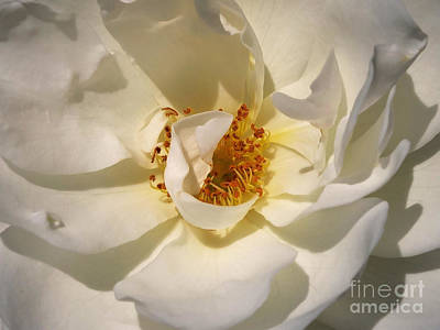 Digital Art - White Rose Up Close by Serene Maisey
