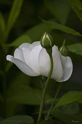 Photograph - White Rose With Buds by Michael Friedman