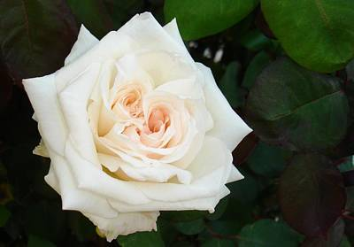 Photograph - White Rose With Natural Garden Background  by Tracey Harrington-Simpson