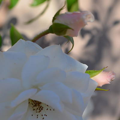 Photograph - White Rose With Sunlight by Cheryl Miller