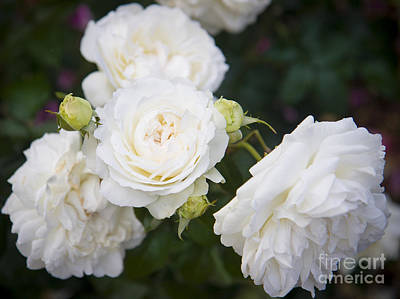Photograph - White Roses by Brian Jannsen