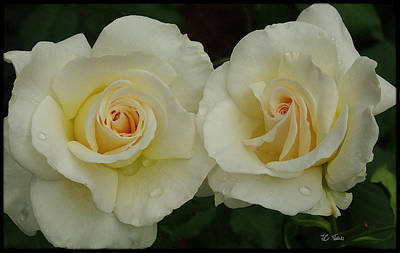 Photograph - White Roses by James C Thomas